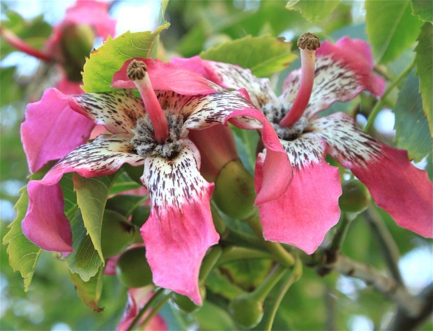 Pink flower in Melbourne Botanical Gardens.