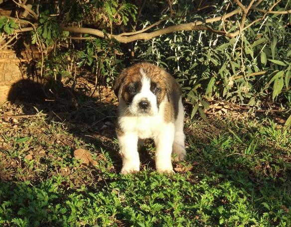 St. Bernard dog.