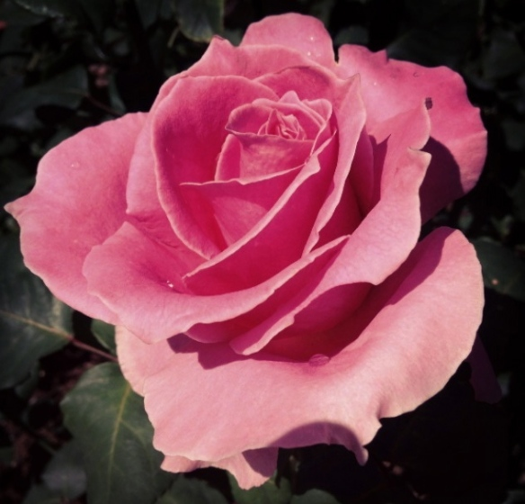 A pink rose.