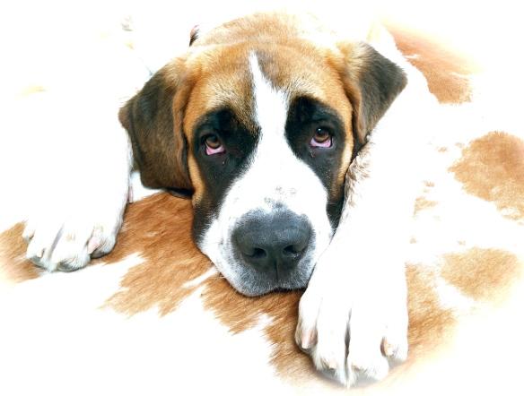 St. Bernard puppy.