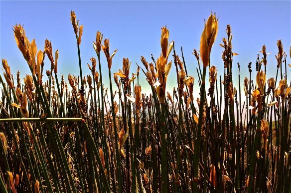Reeds.