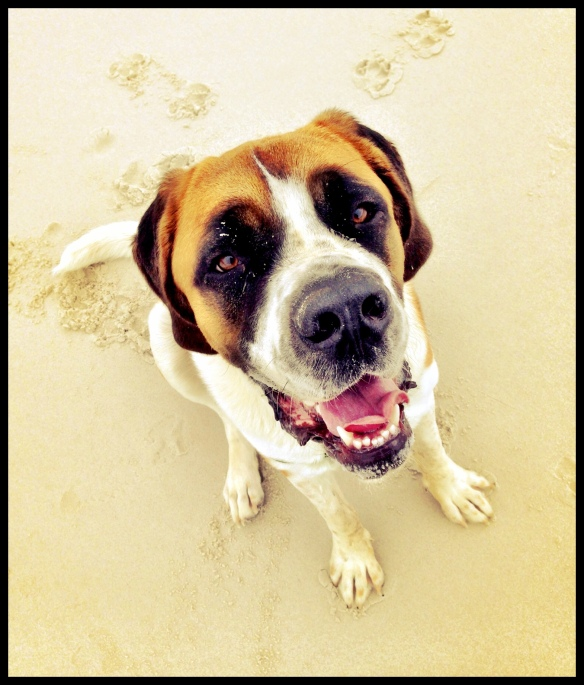 St. Bernard at the beach.