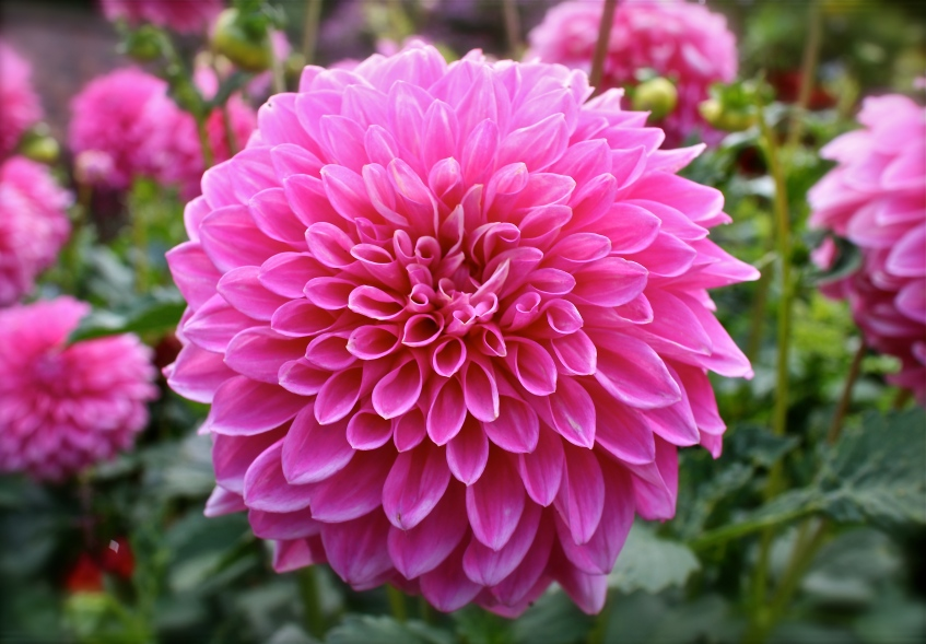 Pink Flower like a pom pom.
